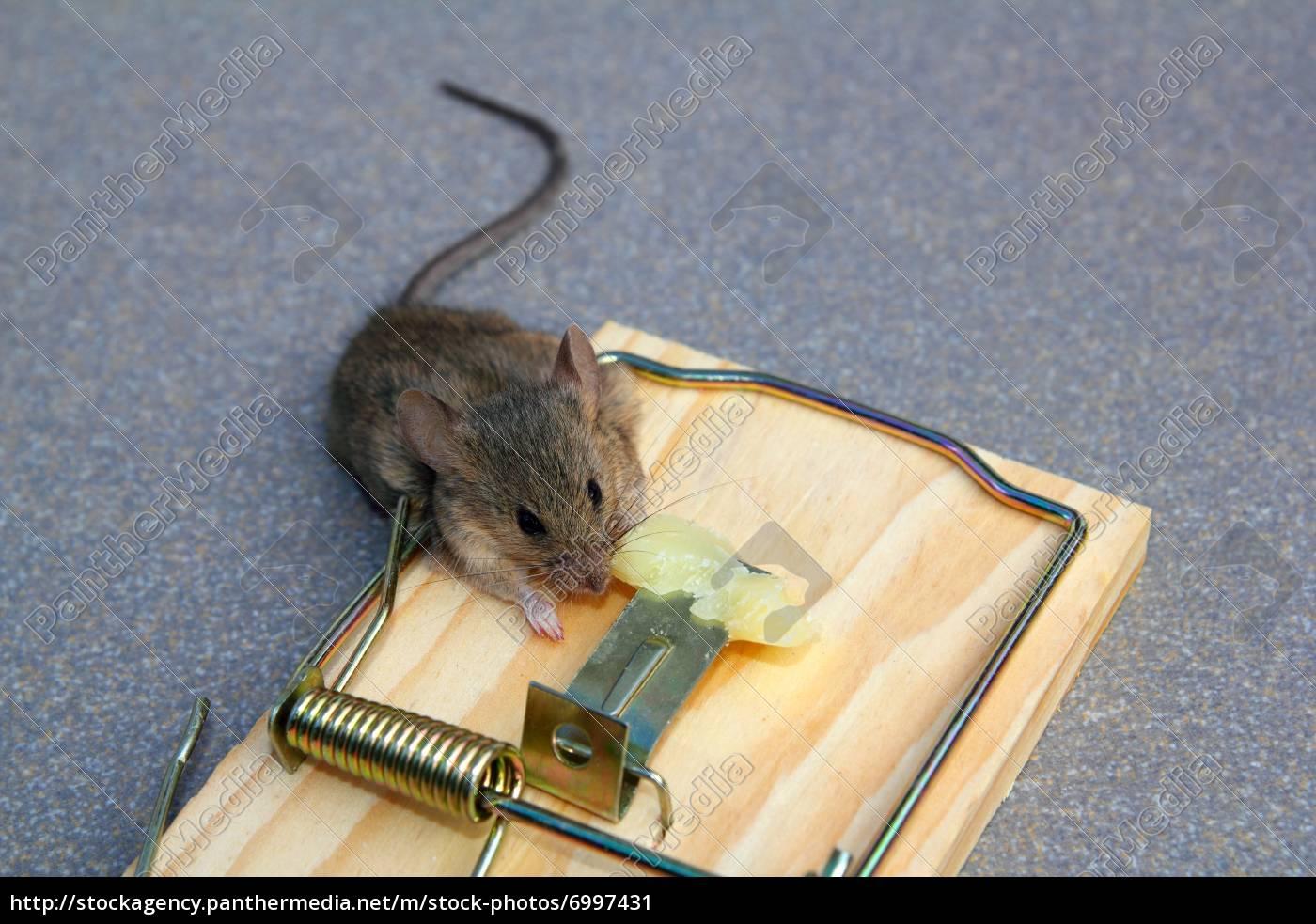 Как крысу сделать ручной