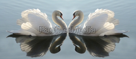 swan lake in color
