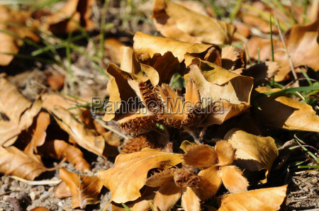 autumn leaves with beechnuts