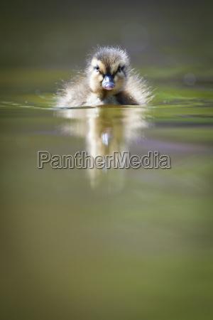 cute little duckling swimming in water