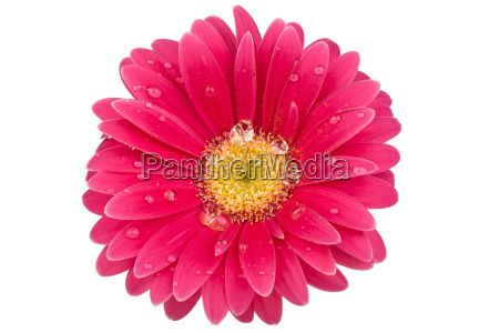 single gerbera with drops of water