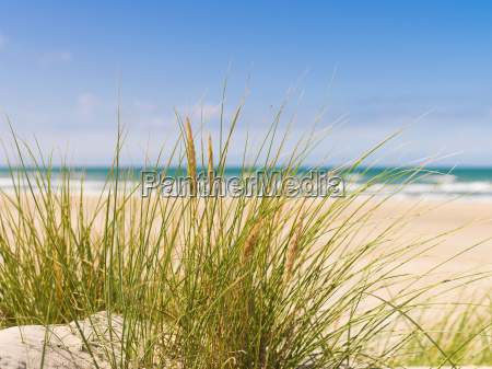 dune grass in summer