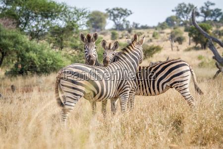 bonding zebras in the kruger national