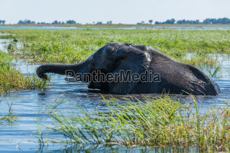 elephant swims using trunk to reach