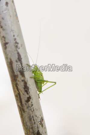 side view of green cricket on