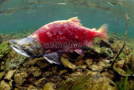 a sockeye salmon swims upstream to