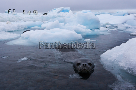 a weddell seal swims near an