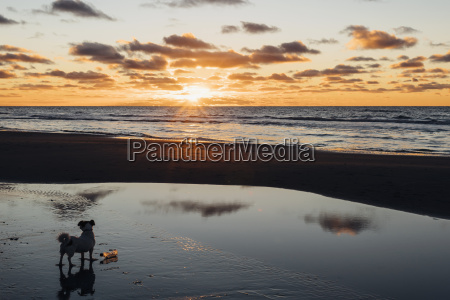 daenemarknordjuetlandhund am ruhigen strand bei sonnenuntergang