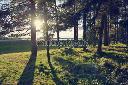 sweden storuman sun shing through conifers