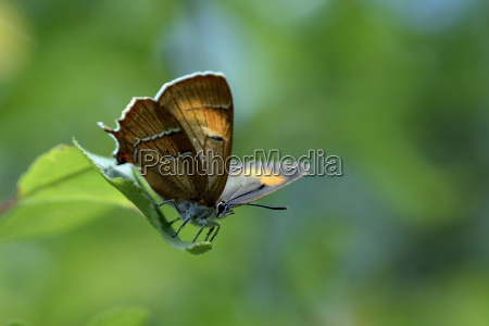 germany brown hairstreak butterfly sitting on