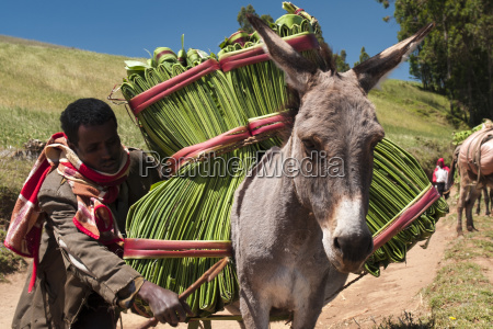 a man steers his donkey carrying