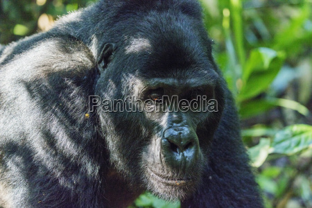 kabukojo dominant silver back gorilla gorilla