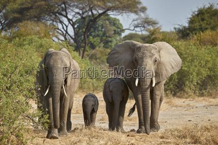 african elephant loxodonta africana group ruaha
