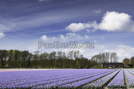 hyacinths in fields lisse netherlands europe