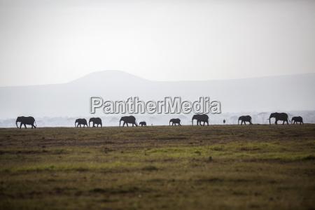 herd of elephants on plain in