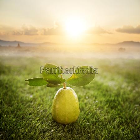 chemical free fresh organic lemon