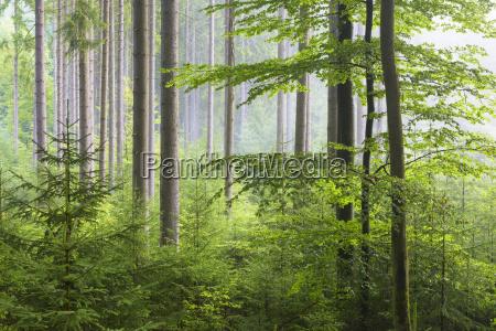 european beach fagus sylvatica forest on