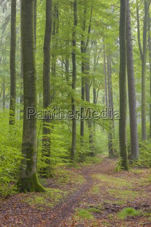 beech trees fagus sylvatica in autumn