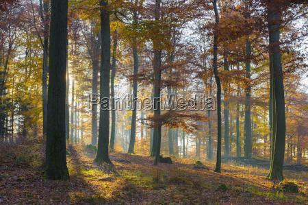 european beech fagus sylvatica forest in