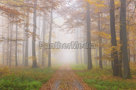 path through misty european beech fagus