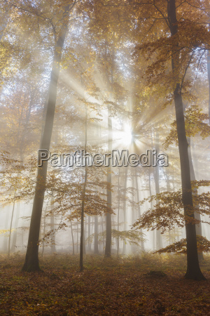 sunbeams in european beech fagus sylvatica