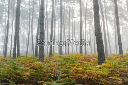pine forest on misty morning in