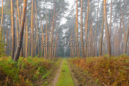 path through pine forest on misty