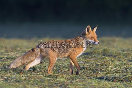 profile portrait of a red fox