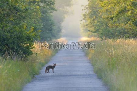 view of red fox vulpes vulpes