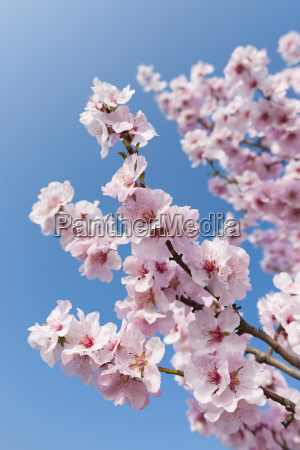 close up of pink almond blossom