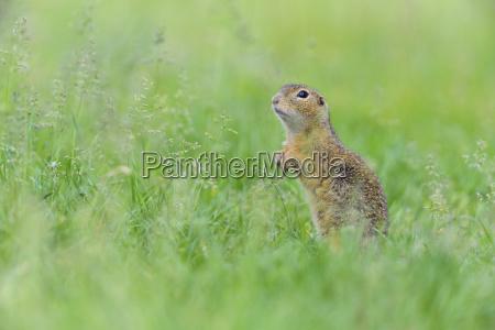 portrait of european ground squirrel spermophilus