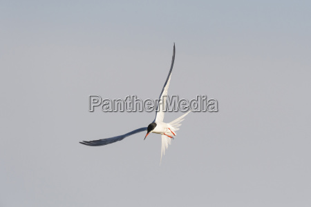 common tern sterna hirundo in flight