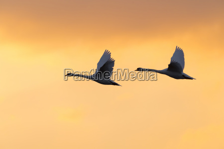 two mute swans cygnus olor flying