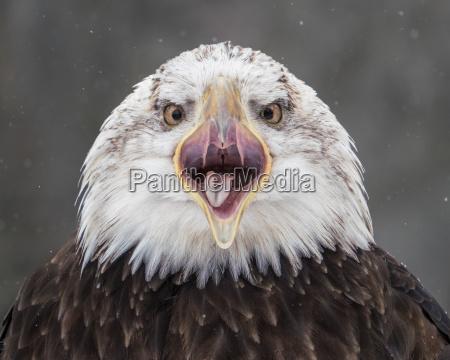 screeching bald eagle iii