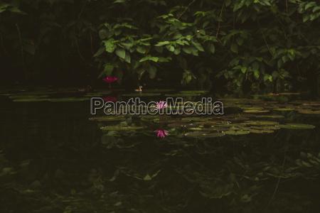 lotus water lily growing in lake