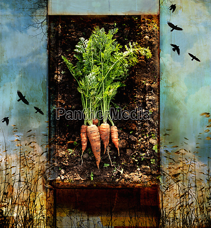 fresh carrots with roots in soil